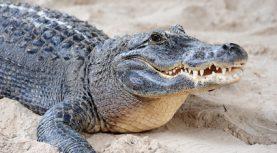 Alligator closeup on sand in Gator Park in Miami, Florida.